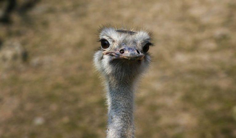 """""""Hay una bola en la calle, que van a agrandar el Ditú""""… ¿Ya escuchaste """"El avestruz""""?"""