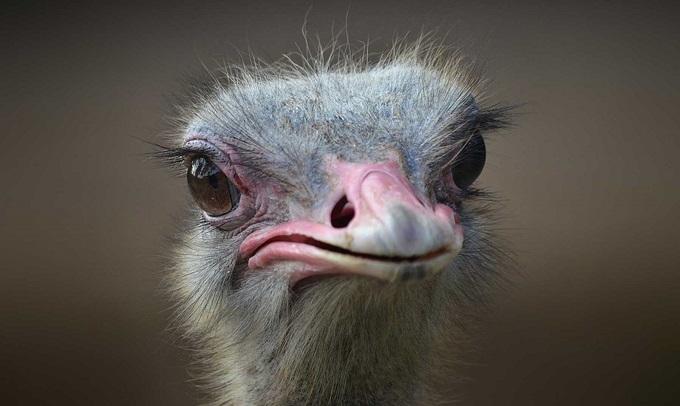 Solo en Cuba puedes comprar un avestruz con batería de litio